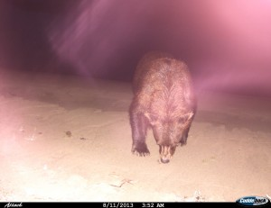 Bear captured on my dad's trail cam. Photo by Al Yatlin, Sr.