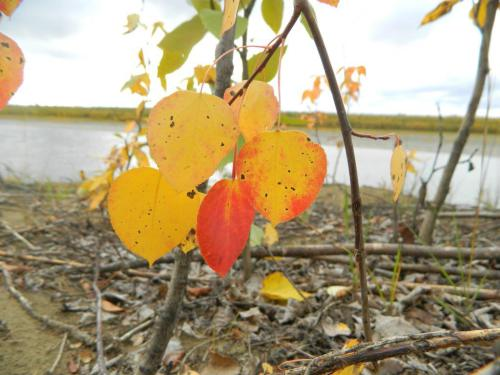 There were lots of fall colors, like yellow and red, in Huslia. Photo by Angela Gonzalez