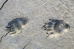 Bear tracks in interior Alaska. Photo by Angela Gonzalez