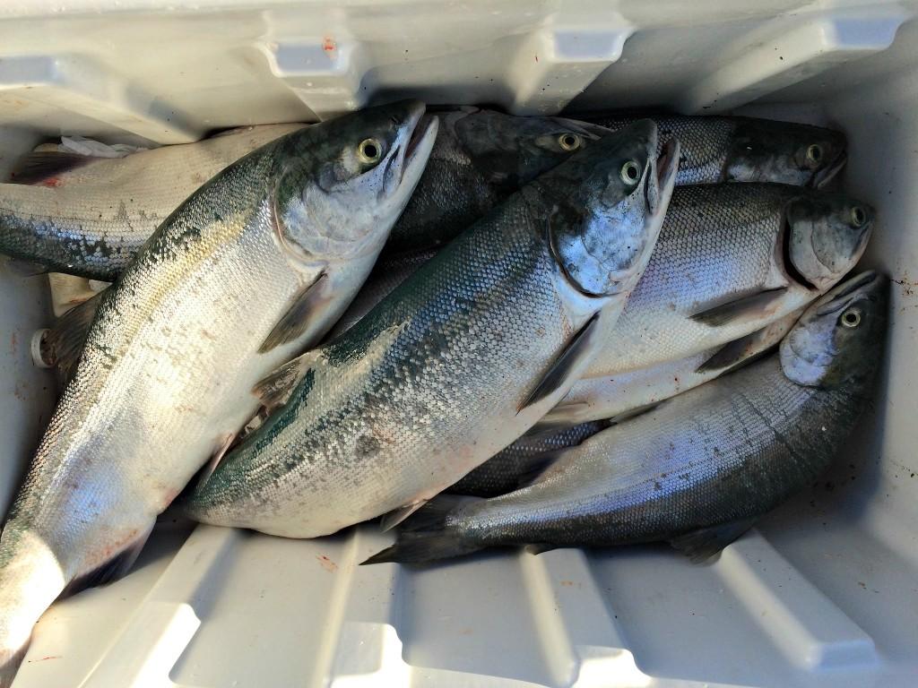 We got some nice sized red (sockeye) salmon on the Kenai River. Photo by Angela Gonzalez